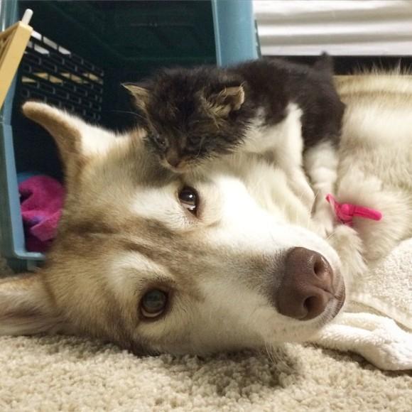 【無償の愛】瀕死の子猫を救ったハスキー犬の母性に世界中が感動(まとめ)