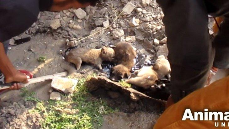 タールに飲み込まれ身動きが取れないまま数時間…3匹の子犬を救助!