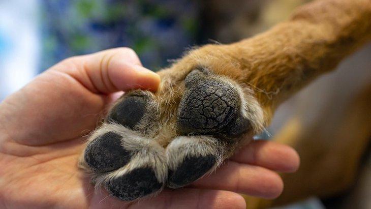 犬の肉球がカサカサになる原因4つ!やるべき対策まで