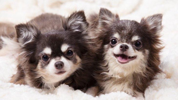 『ツンデレな犬種』3選!あなたの愛犬にはこんな特徴がありませんか?