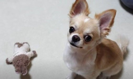 愛犬は音楽でリラックスする?台風を乗り切るための『対策』チワワさんへの効果は…?