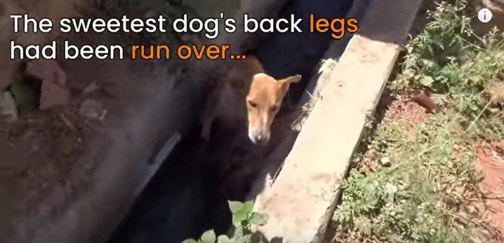 両後足を骨折して身を潜めていた犬をレスキュー。寄り添い回復へ導く