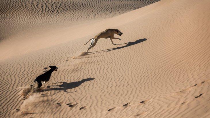 サウジアラビアで発見された犬の家畜化の証拠