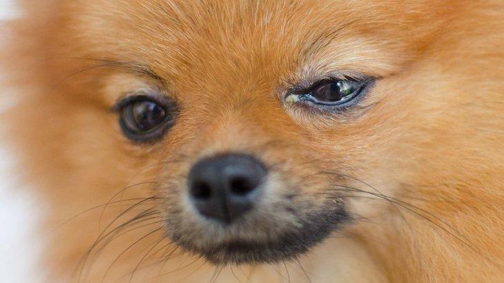 犬が『目の病気』にかかっている時のサイン5選