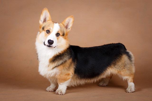 ウェルシュコーギーカーディガンの性格と特徴、寿命や歴史から仔犬の値段まで