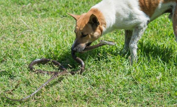 マムシと犬について 噛まれたときの対処法と治療法