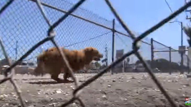 猛スピードで逃げ回る犬の捕獲。フェンスを飛び越えないで!