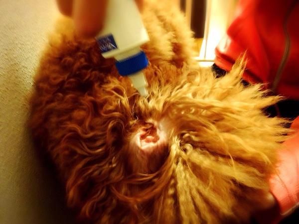 犬の耳掃除のやり方を写真で解説!耳の病気トラブルを予防しよう