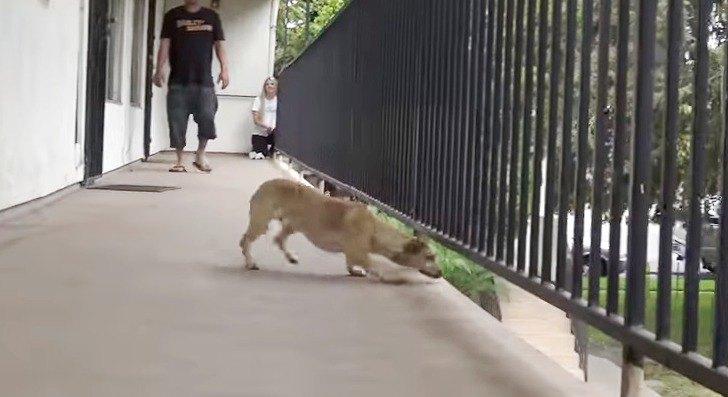 危ない!レスキューを避けて2階から飛び降りようとする小型犬