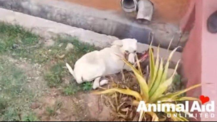 口から血を流してうずくまる子犬をレスキュー。緊急手術で救え!