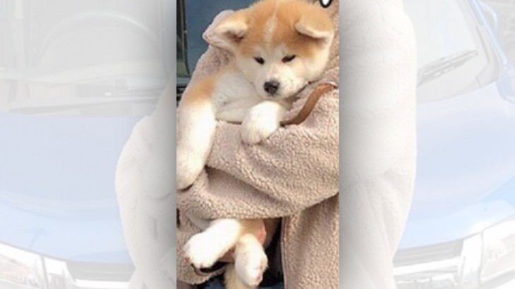 【話題】半年でこんなに…!?秋田犬さんの成長ビフォーアフター♡