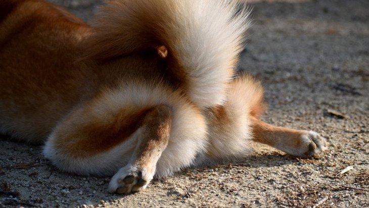 犬が『お尻を舐める』心理4選!もしかしたら怪我や病気になっているかも?