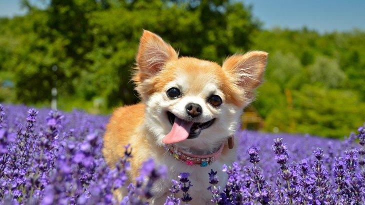 『世界で最も小さい犬種』4選
