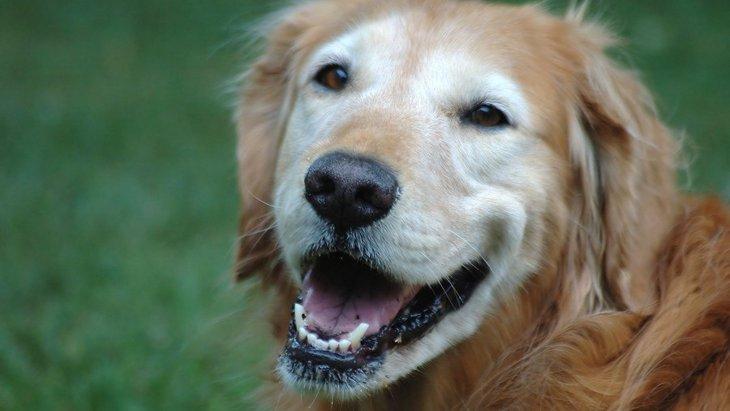 犬の加齢性疾患のための遺伝子治療に青信号、心臓病などに期待