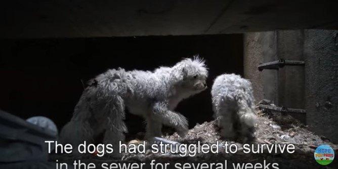 狭い排水トンネルで抵抗する小型犬兄弟をつかまえるのは大変!