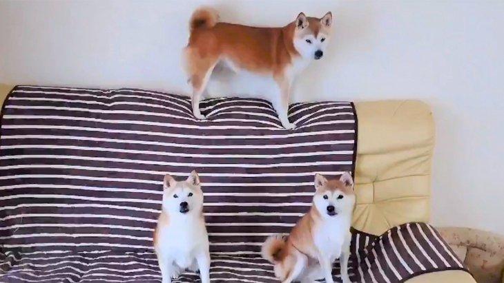 【大人気】静止画じゃ…ない…だと…?全く動かない柴犬一家がかわいい♡