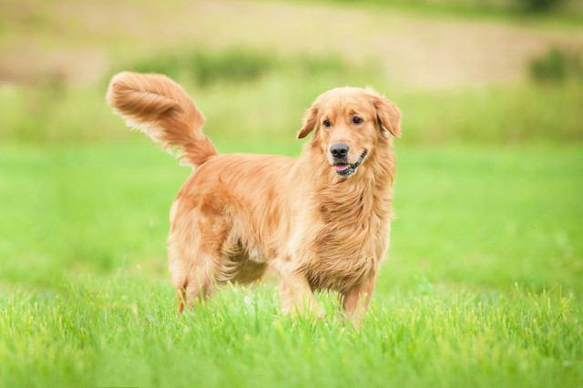 ゴールデンレトリバーの犬種情報
