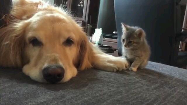 可愛すぎ注意!新入り子猫を受け入れるゴールデンレトリバー(動画)
