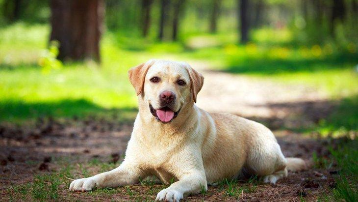 ラブラドールレトリバーの性格と特徴、寿命や飼い方から子犬の価格まで