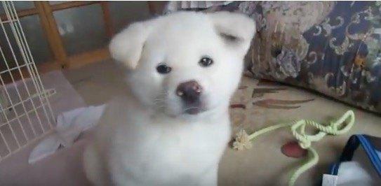 秋田犬の子犬が可愛すぎてつらい