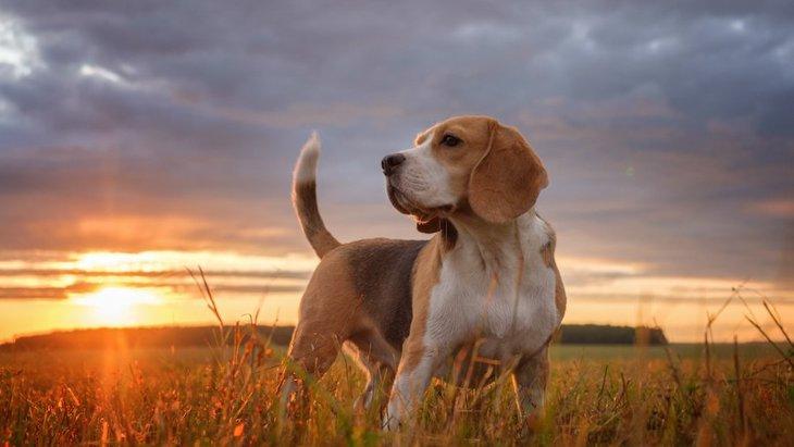 犬の尻尾が立っている時の心理とは?4つの気持ちと対処法