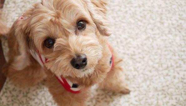犬が真剣な表情で飼い主を見つめる時の心理6選