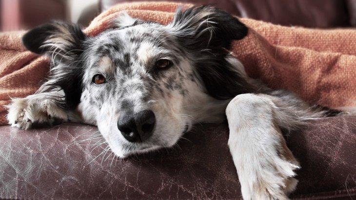 Resultado de imagen para 犬  Australian Shepherd dog bed