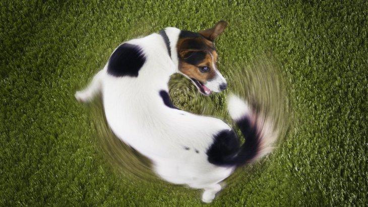 ずっとグルグル回る?犬が同じ行動をくり返すのは病気が原因かも!