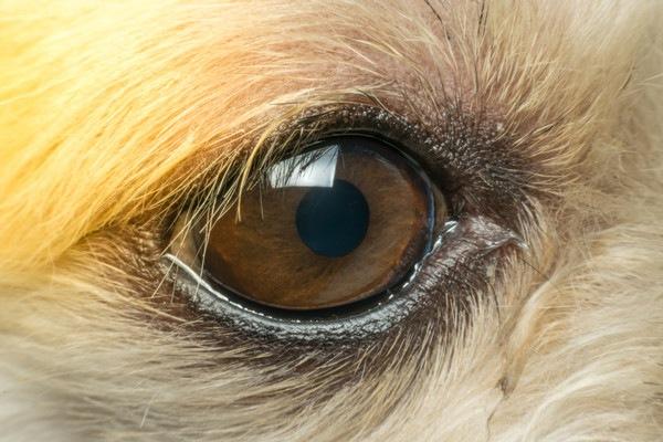 犬の角膜ジストロフィー(角膜変性症)について