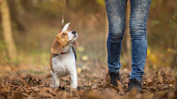 犬が散歩中に飼い主をエスコートしている時の仕草4つ