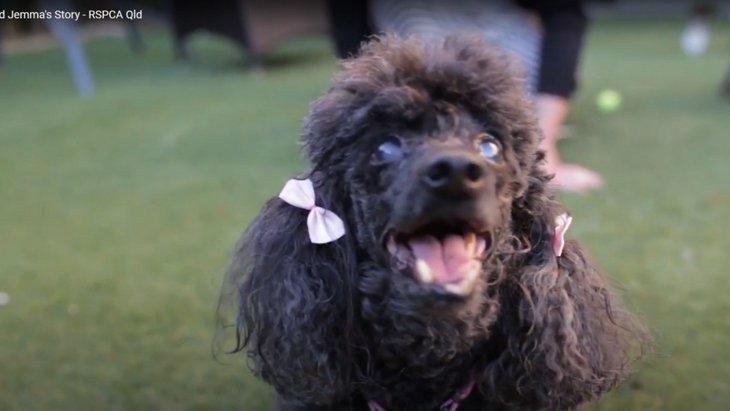 子犬工場から救われた盲目のトイプードルが幸せなセカンドライフへ!