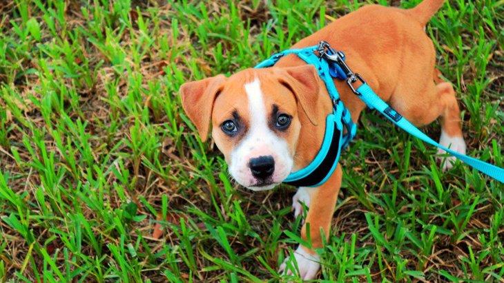 犬にNGな『ハーネス』の特徴4選!必ず愛犬に合うものを選ぶように!