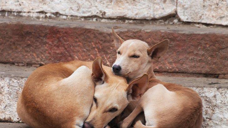 野犬に対して狂犬病ワクチンを経口投与する試みが好感触