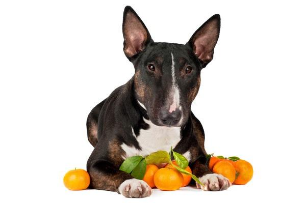 犬に柑橘類を与えても良い!その効果や適した量から注意点まで
