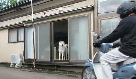 窓を見ながら飼い主の帰りを待ち続ける秋田犬