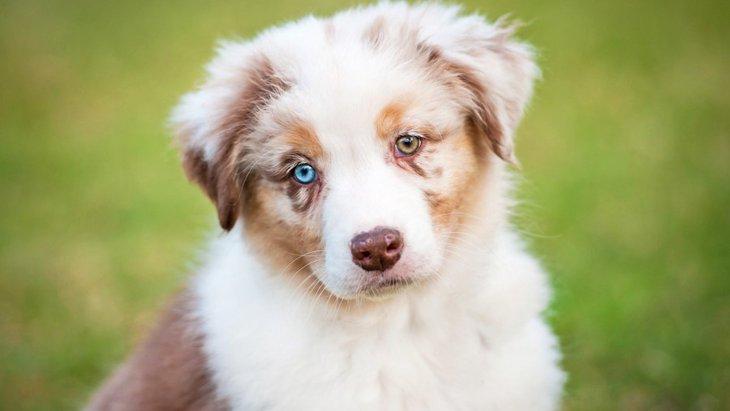 犬の目の色の種類はどのくらいある?代表的なカラーからオッドアイまで