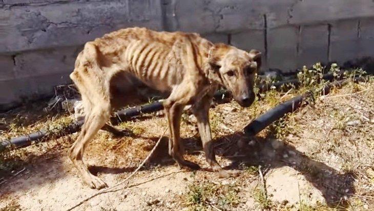 餓死寸前のやせ細った犬をレスキュー。牙をむくのは怖いから…