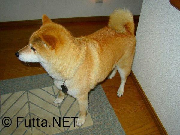 柴犬を室内で飼うことについて