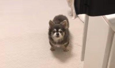 寂しかった?他の子犬に会いにいく飼い主を健気に見送るチワワ