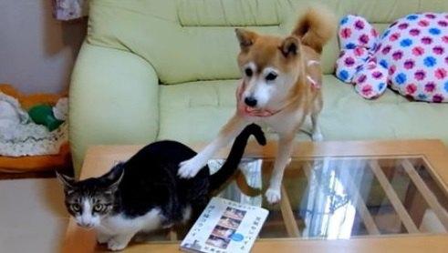 柴犬ちゃん、猫からの視線に思わず「なんでやねん!」