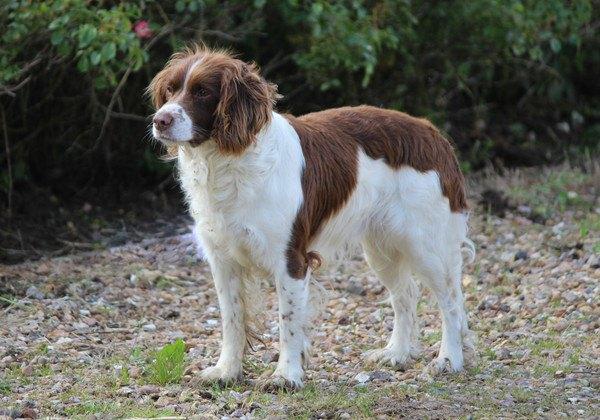 イングリッシュスプリンガースパニエルの性格と特徴、しつけや子犬の価格まで