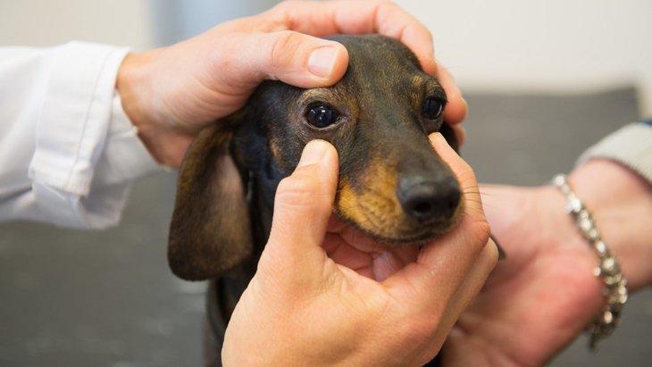 犬の眼球癆(がんきゅうろう)とは?症状や原因、治療法から予防法まで
