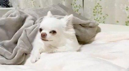 【許さん!】自分より先に寝ようとするパパを止めようとするチワワちゃん