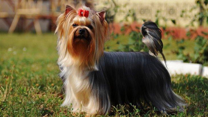 ヨークシャーテリアの性格や毛色、飼い方から寿命まで