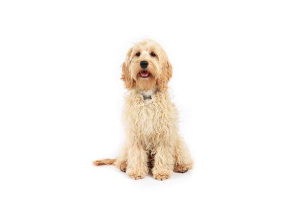 コッカープーはアメリカで大人気のミックス犬