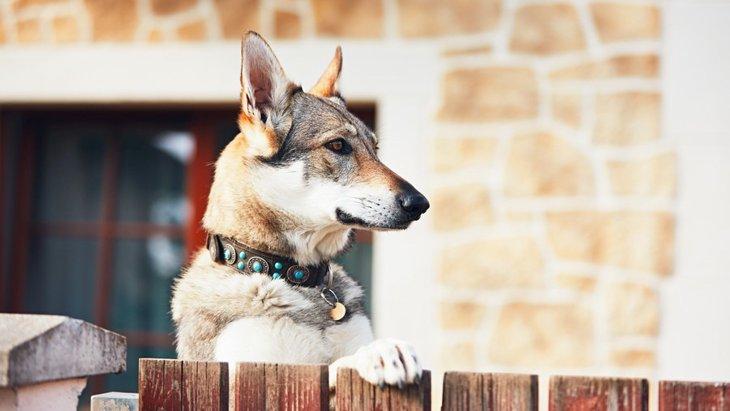 犬が耳を立てているときの4つの心理
