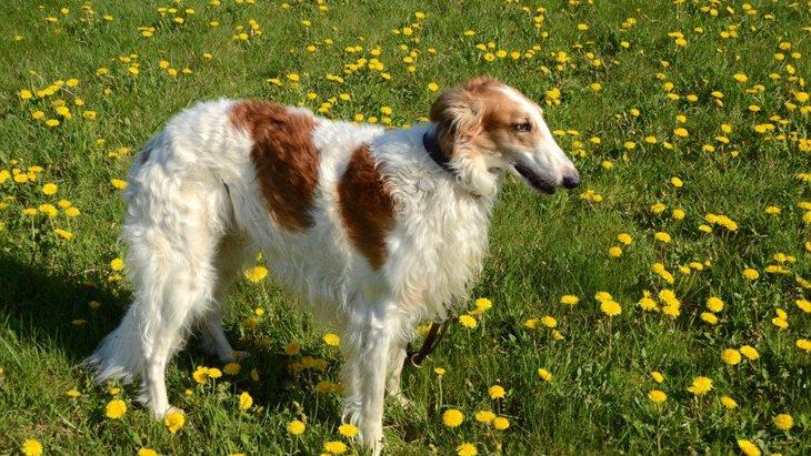 ボルゾイの子犬を飼いたい!値段やブリーダーについて