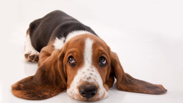 愛犬が『悲しい表情』で見てくる時の心理5つ