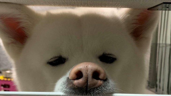【速報】秋田犬くんのおねだり方法がグレードアップしたようです。