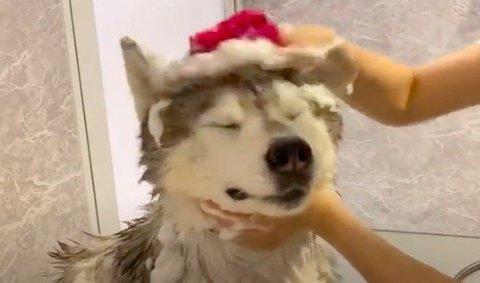 シャワーで頭を入念に洗われちゃうシベリアンハスキーくん